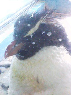 ペンギンさん!